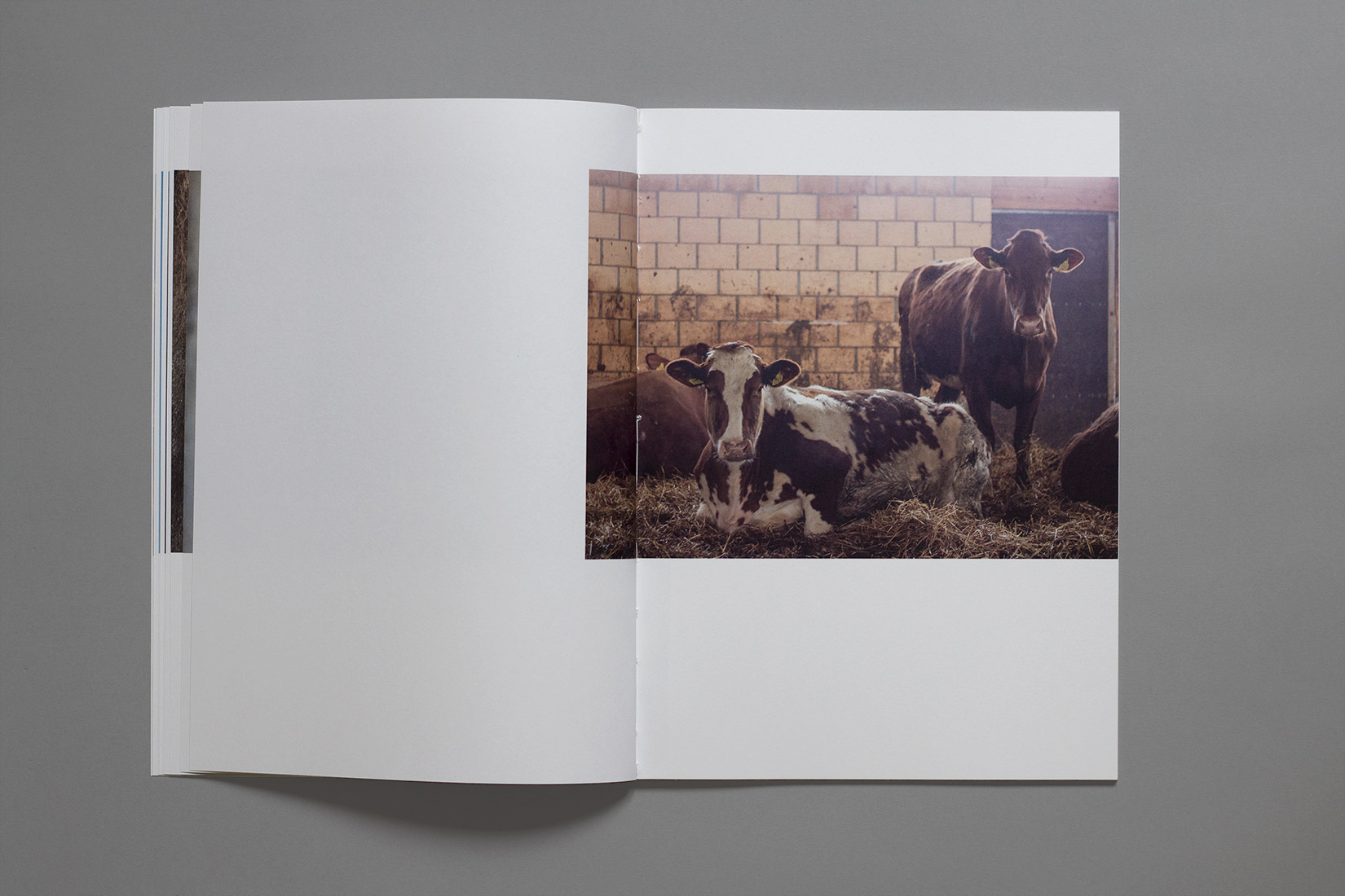 diploma, graphic design, book, La Chaux-des-Breuleux, cows, photography, barn